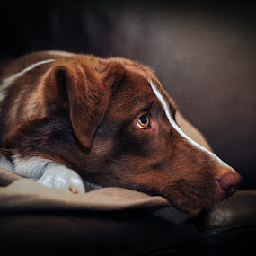 Han Solo by Mathias Ahrens - Animals - Dogs Portraits ( border collie, couch, dog )