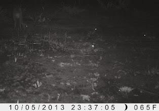 Photo: Three hares surrounding a bushbuck in Luando três lebre rodeando um golungo no Luando