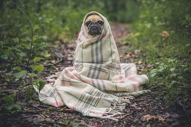 Pug, Dog, Pet, Animal, Puppy, Cute, Wrapped, Blanket