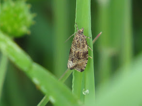 Photo: 30 Jun 13 Priorslee Lake: I have shown photos of the attractive micro moth Common Marble (Celypha lacunana), but this view shows just what an attractive moth it is in close-up. (Ed Wilson)