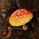 American Yellow Fly Agaric