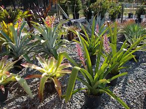 Photo: Sun loving Bromeliads