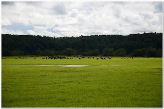 Photo: ... коровы пасутся ...