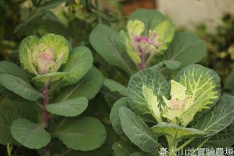 Photo: 拍攝地點: 梅峰-溫帶花卉區 拍攝植物: 葉牡丹 拍攝日期: 2015_11_13_FY