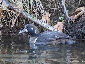 Photo: Harlequin Duck