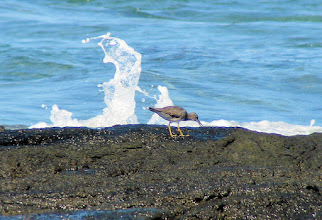 Photo: Wandering Tattler on the South Kohala Coast of the Big Island