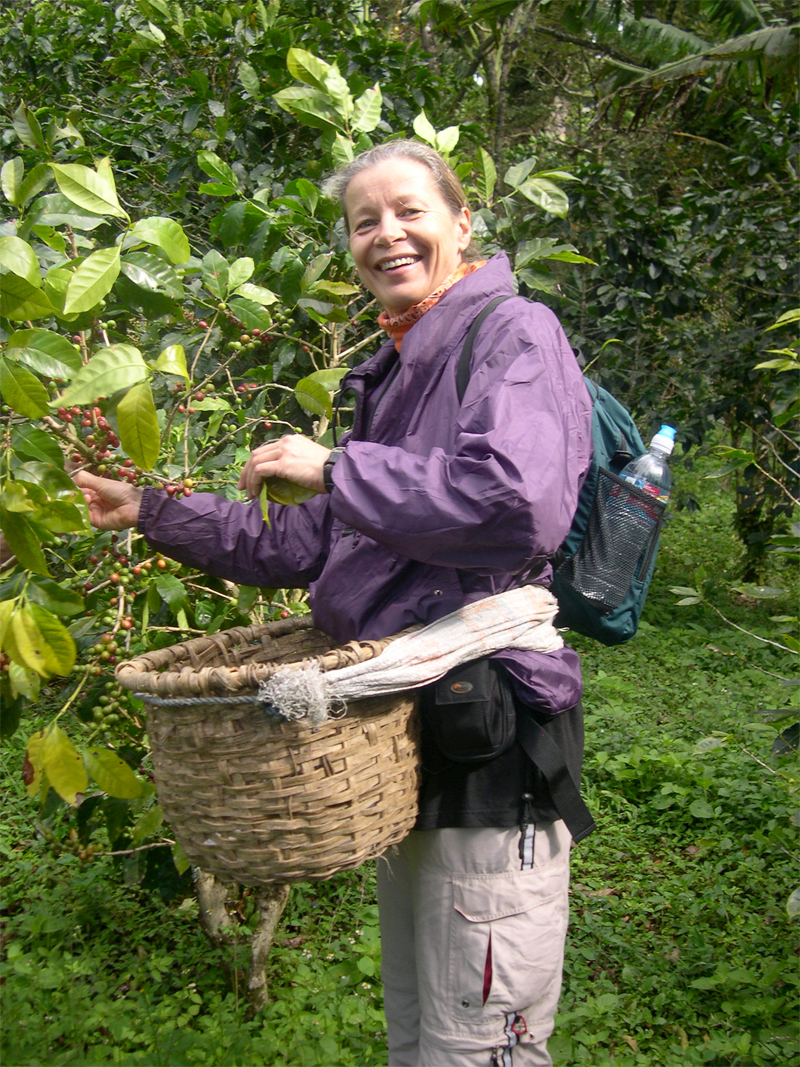 Photo: monteverde / santa elena: harvesting coffee