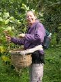 Photo: monteverde / santa elena: harvesting coffee
