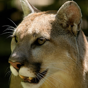 by Aaron Ytterberg - Animals Lions, Tigers & Big Cats ( cats, animal portrait, predator, animals, big cats, portrait, cougar, mountain lion, lion )