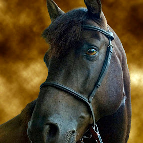 Thoroughbred by Alabama Photos - Animals Horses ( champion, horse, thoroughbred, portrait )