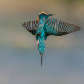 dip by Riccardo Trevisani - Animals Birds ( trevisani, wild, riccardo, kingfisher, wildlife )