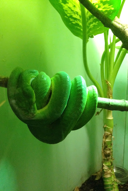 Green tree python at the Louisville Zoo in Louisville, KY