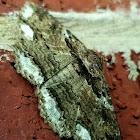 "Lunate zale moth, form ""edusa"""