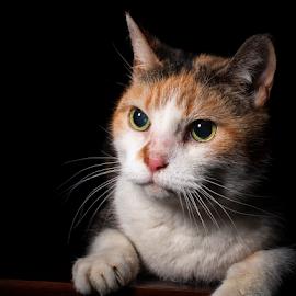 Happy 18th birthday Lou Lou.  by Brian Sadowski - Animals - Cats Portraits ( cats, pet portraits, meow, pets, kitty, animal )