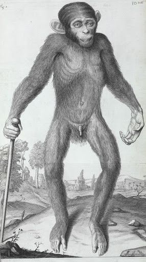 Illustrations of the anatomy of a chimpanzee, Pan troglodytes (1698) by William Cowper