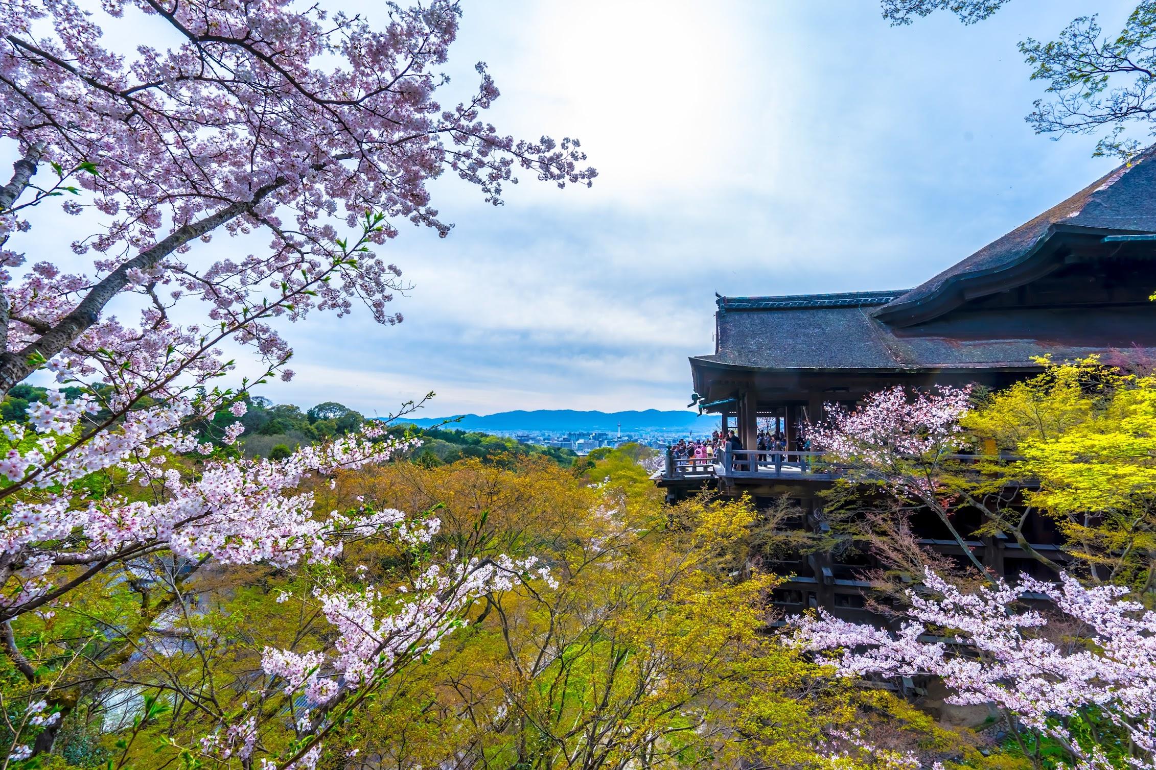 京都 清水寺 桜1