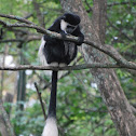 Eastern Black and White Colobus (Mantled Guereza)