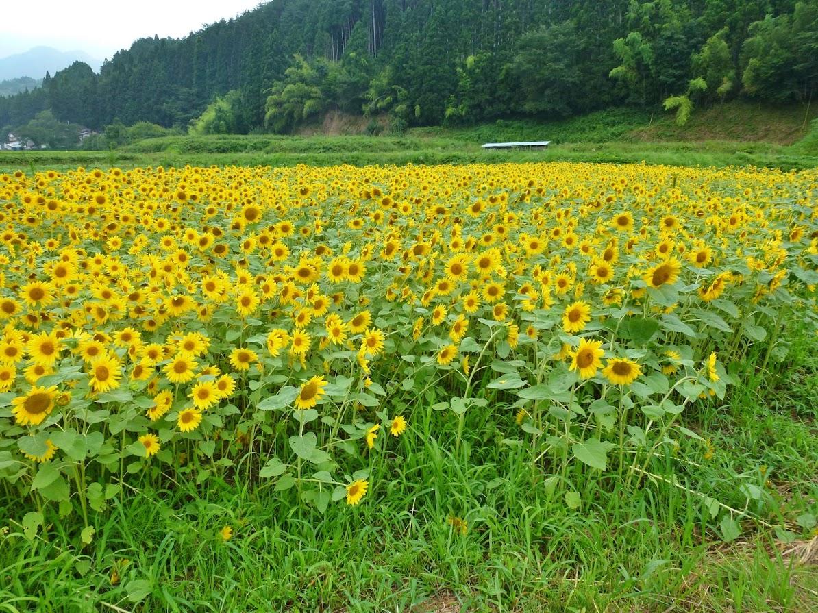 歌津中在のひまわり畑 写真2