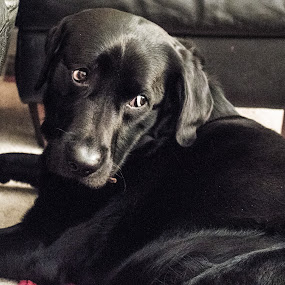 Waiting for something.. by Meeta Thakur - Animals - Dogs Portraits ( wait, labrador, dog, photography, black, animal )