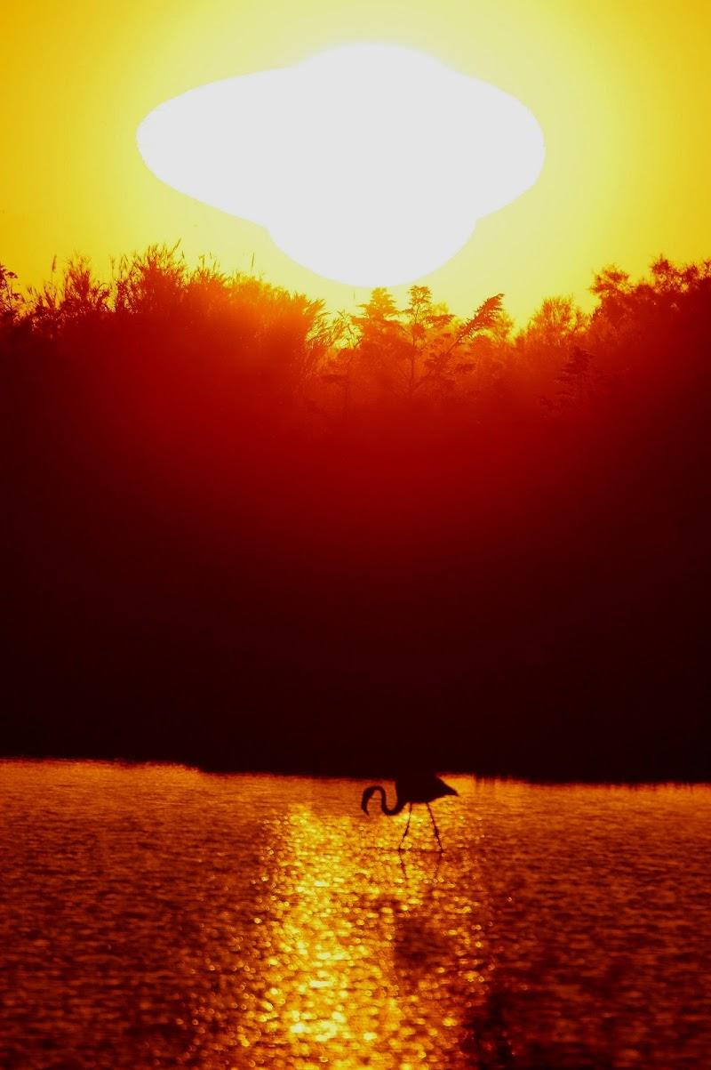 Fenicottero al tramonto di benny48