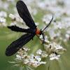 Grape Leaf Skeletonizer moth
