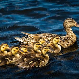 Mallard Family.jpg