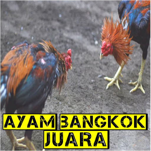 Ayam Bangkok Juara Rahasia Botoh Tua
