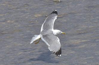 Photo: Larus michahellis- Yellow-legged Gull