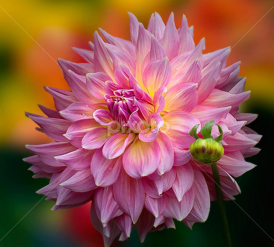 by Carl Sieswono Purwanto - Flowers Single Flower