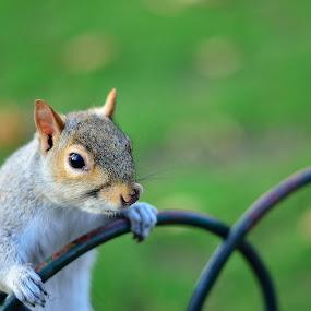 Squirrel by Nizam Akanjee - Animals Other ( sciuridae, tree squirrel, ground squirrel, squirrel,  )