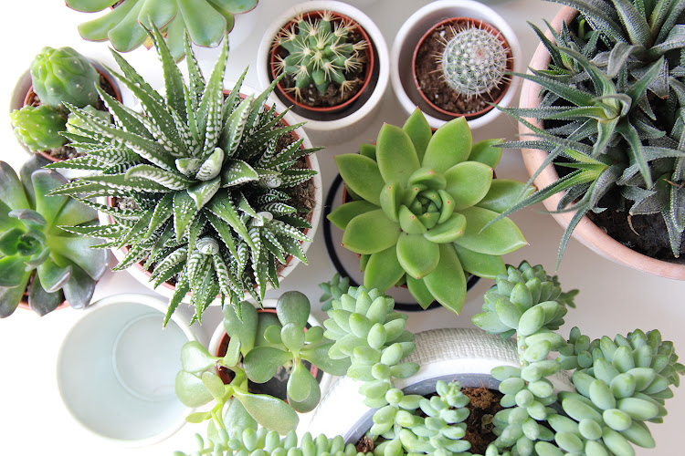 Succulents are the indoor plant of the moment.