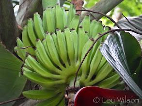 Photo: Plantain on the tree Matale Sri Lanka