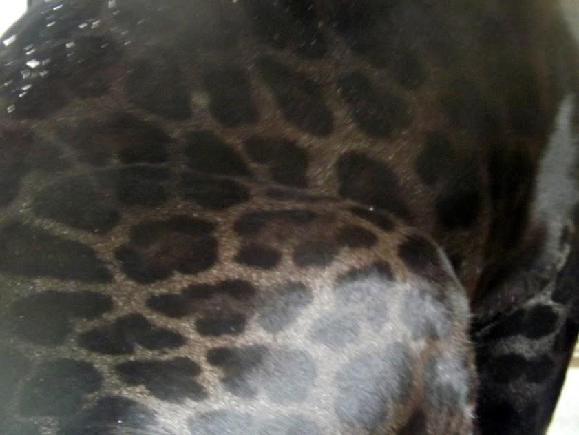 Pelage de jaguar noir, Beauval - Tous droits réservés