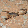 Striped Bark Scorpion