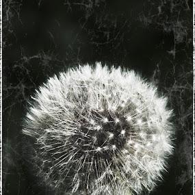 Dandelion by Mark Denham - Artistic Objects Other Objects ( seed head, b&w, dandelion, art, fine art )