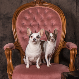 High Society by Myra Brizendine Wilson - Animals - Dogs Portraits ( pets, chair, dogs, canine, dog, pet )