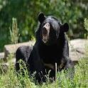 Asiatic Black Bear Wallpaper icon
