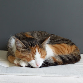 Sleeping cat by Morgan Bardon - Animals - Cats Portraits ( cat, tired, sleeping )