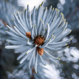 Winters flowers by Alex Ciubotaru - Nature Up Close Trees & Bushes ( stars, grey, silver fir, fir, flower )