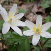 Wood anemone, Windflower, Thimbleweed, Smell fox,