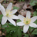 Wood anemone, Windflower, Thimbleweed, Smell fox,