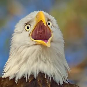 Bald-Eagle-Closeup-O-32512.jpg