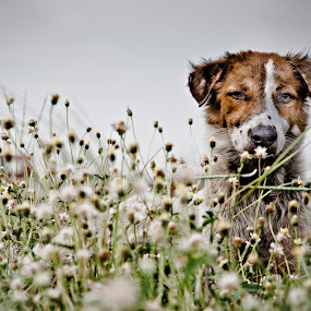 bantay by Ben Brian Banao - Animals - Dogs Portraits ( icewater, pinay, askal, pinoy, philippines )