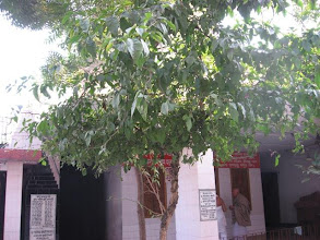 Photo: The floweing shefali tree in front of the shrine of Prabhu Jagadbandhu at Mahaprakash Math
