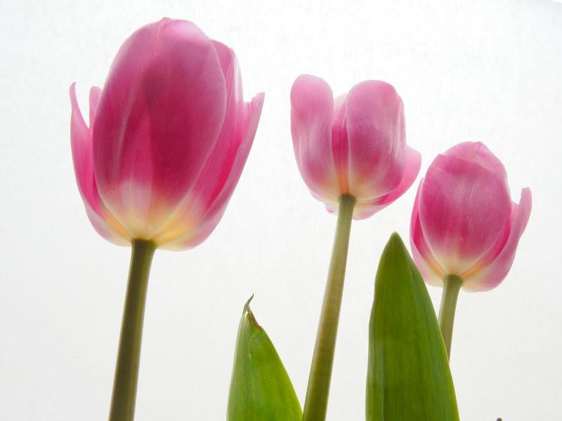 tulip design di provenza