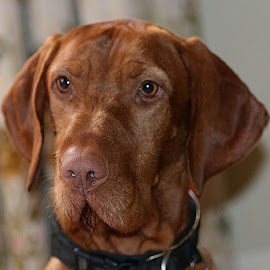 Nose Focus by Chrissie Barrow - Animals - Dogs Portraits ( smooth, male, young, portrait, eyes, red, pet, ears, fur, vizsla, dog, nose, coat, tan )