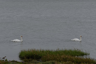 Photo: Swans
