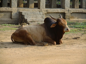 Photo: Bull near ruins in Hampi