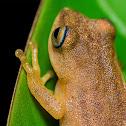 Blue eyed bush frog