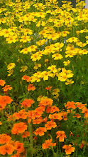 Photo: Tagetes - Colbrook Nurseries